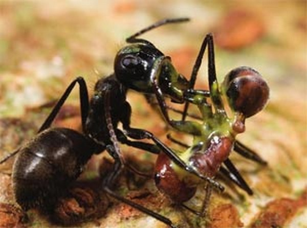 Fourmi-kamikase. Des sociétés très unies dont les comportements complexes sont bien connus des entomologistes. La stratégie militaire en fait partie et les fourmis la maitrisent adroitement lors de batailles et selon les enjeux.