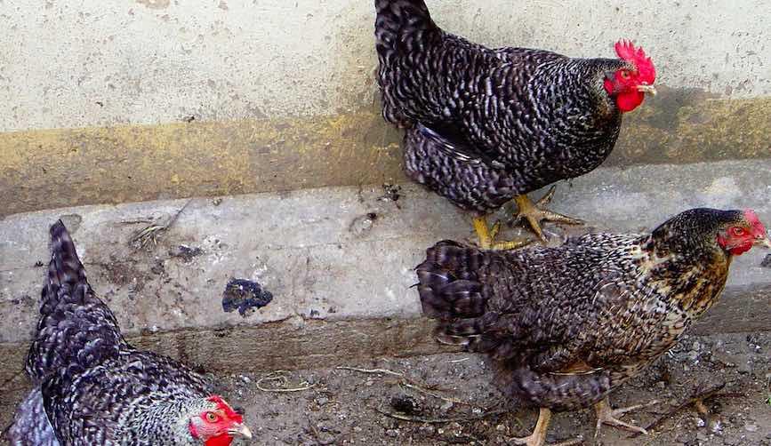 Grippe aviaire: levée de l'alerte près d'Ancenis