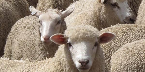 Loire-Atlantique. Les vols de moutons se sont multipliés à l'occasion de Pâques