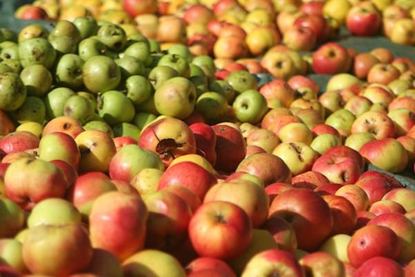 Rennes. Récolte des pommes à cidre: 2015 s'annonce bien!