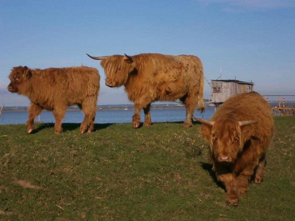 Virer les vaches pour protéger les cyclistes : l'écologie selon la mairie de Corsept