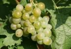 vin_guepes