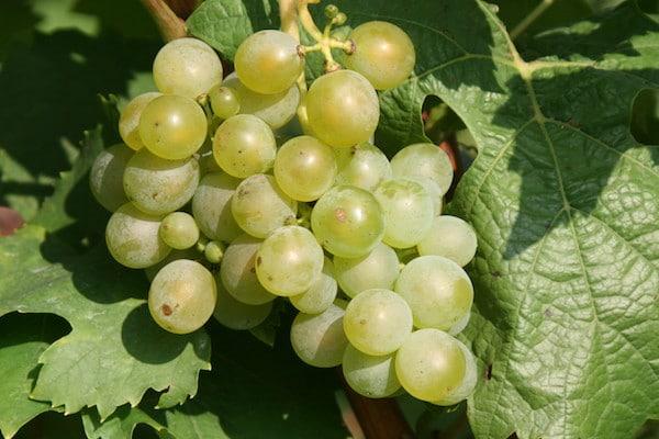 Et si le goût du vin et de la bière provenait du ventre des guêpes ?