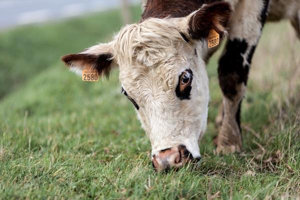vache (18 sur 21)
