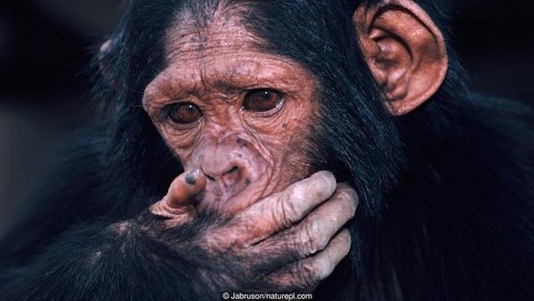Du nouveau à propos des rites funéraires chez les chimpanzés