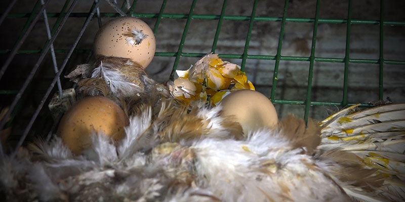 Nantes l214 s 39 en prend super u et aux levages de poule for Oeuf de poule conservation