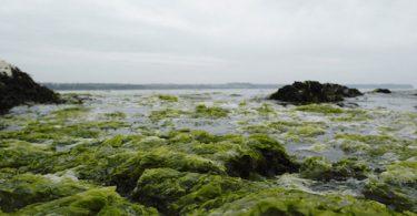algues_vertes