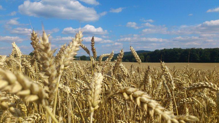 Production mondiale de blé en hausse, sauf en France
