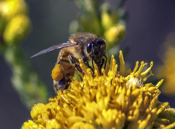 Le pollen : une affaire de goût pour les insectes