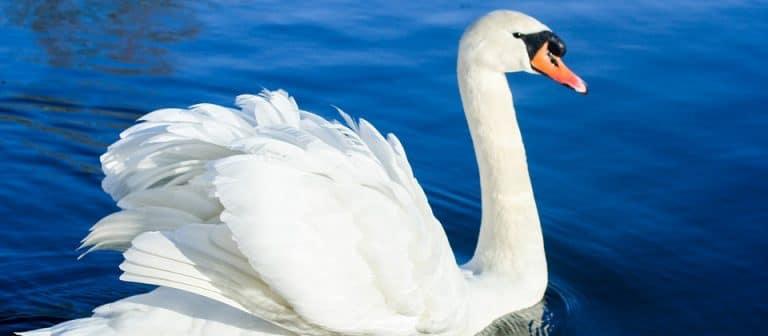 Loire-Atlantique. La grippe aviaire arrive près d'Ancenis.