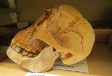 Homo_floresiensis_(femme_de_flores,_dite_Flora)