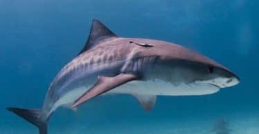 requin_tigre