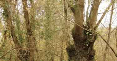 arbre_tetard