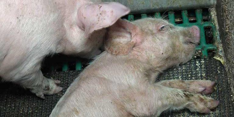 Pouldreuzic (29). Nouveau scandale dans un élevage de cochons