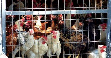 poule_cage