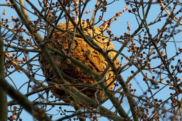 Frelon asiatique: bad buzz à Quimper