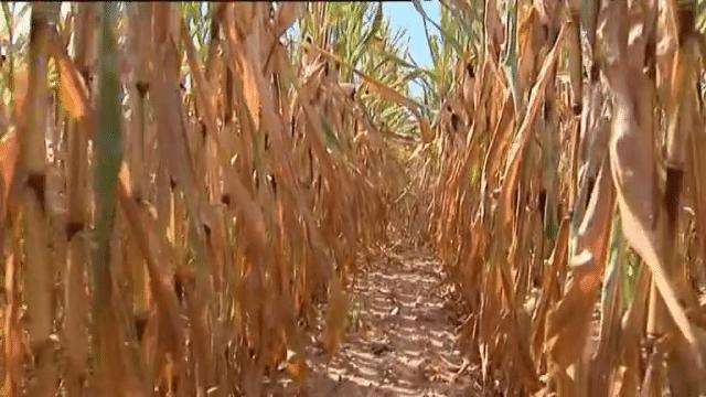 Sécheresse : la Coordination Rurale demande l'autorisation de faucher les jachères
