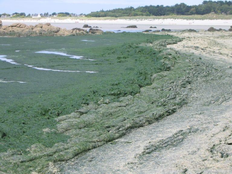 Baie de Saint-Brieuc. Algues vertes en masse et danger de mort !