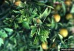 Pierce's_disease_-_Xylella_fastidiosa_-_1262027