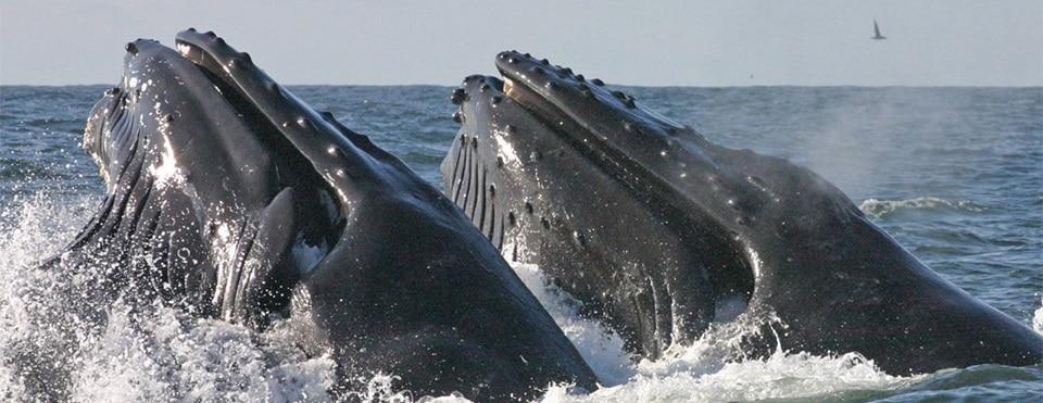 Des savants écossais disent tout sur le chant des baleines
