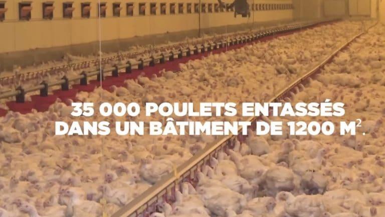 Bretagne. L214 va alerter sur les conditions d'élevage des poulets en batterie