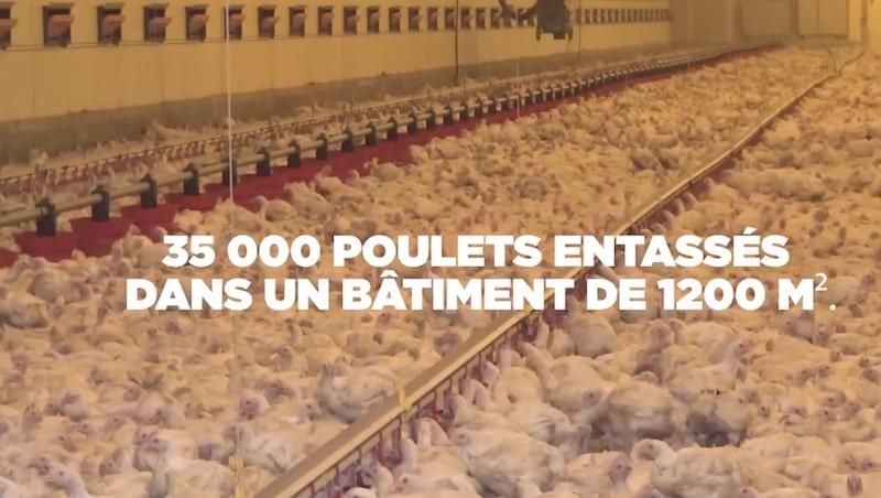Vannes. Sur le port, L214 dénonce l'élevage intensif de poulets
