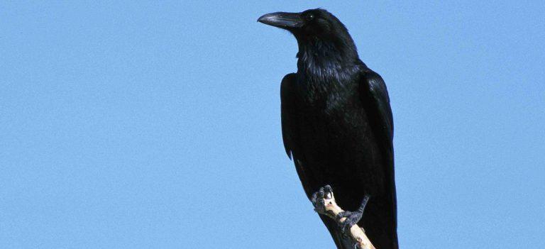 Oiseaux et intelligence, les scientifiques patinent