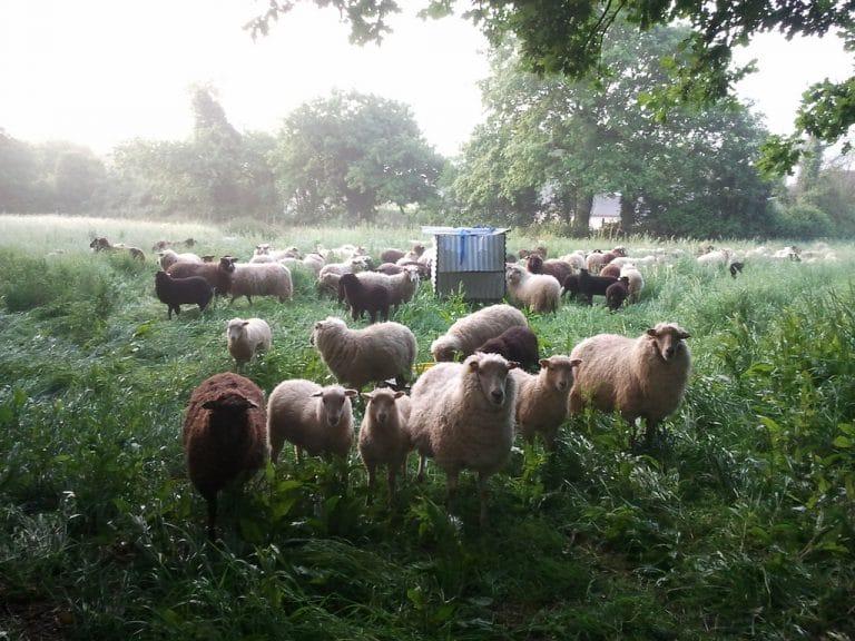 Nantes. Les Moutons de l'Ouest. Retour sur 3 ans d'éco-pâturage au service de la biodiversité