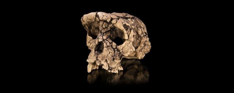 Le fémur de la discorde. Toumaï est-il vraiment le 1er hominidé ?