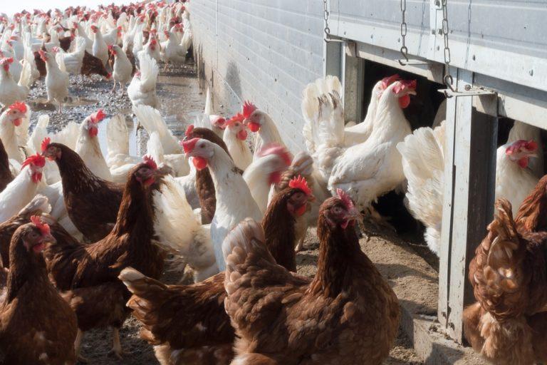 En 2019, près de 45 % des poulets consommés en France… venaient de pays étrangers