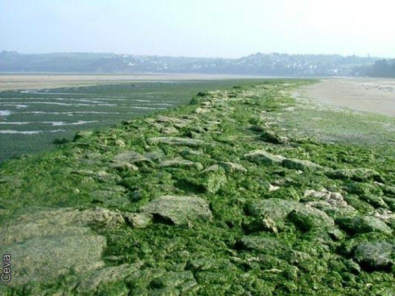 Environnement. Les algues vertes empoisonnent le Morbihan