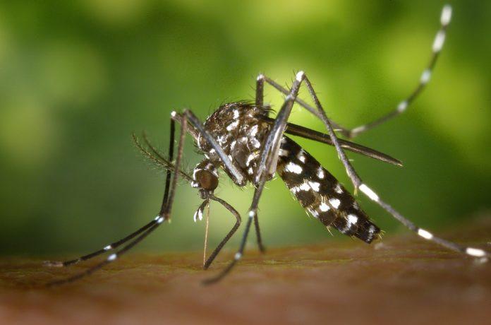 moustique_tigre