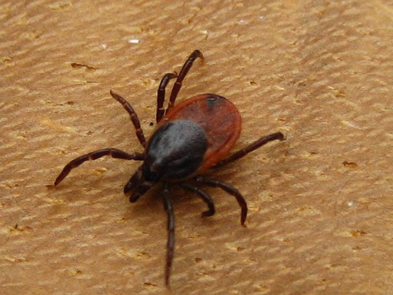 Maladie de Lyme : comment se protéger des tiques ?