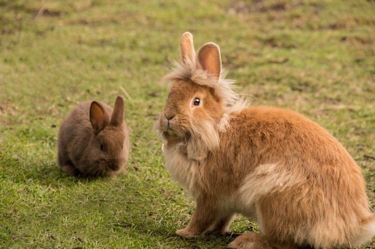 Côtes d'Armor. Un tueur en série de lapins est activement recherché par les gendarmes