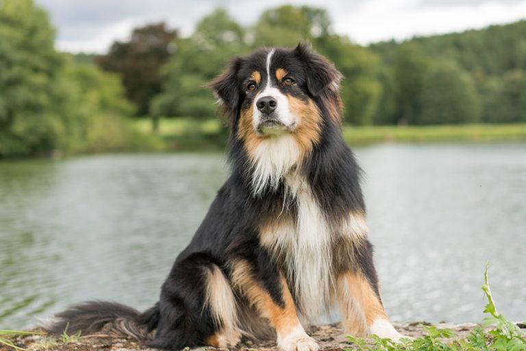 Le berger australien, chien de race préféré des Français en 2018