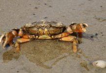 cancer_crabe