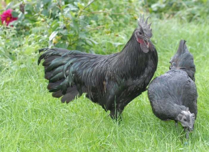 Pesticides : la poule noire de Janzé, une alternative efficace [Vidéo]