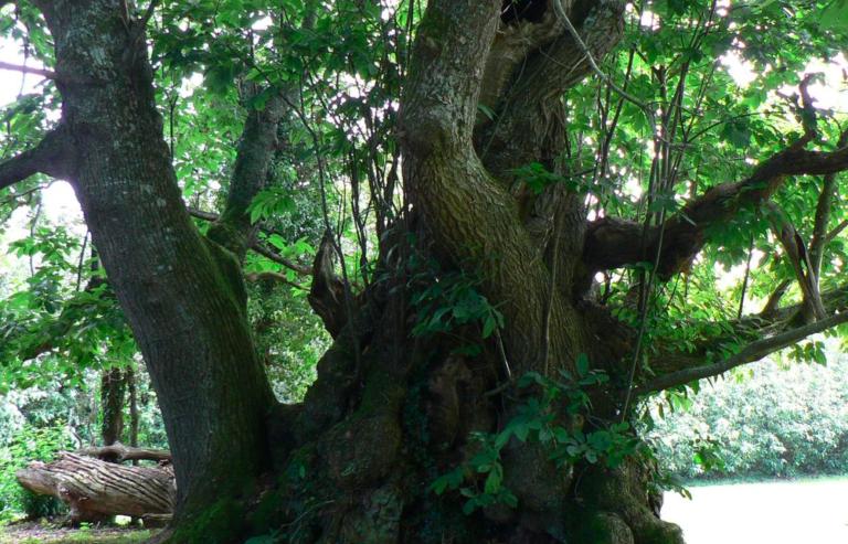 Découverte. L'arbre remarquable de Kerséoc'h