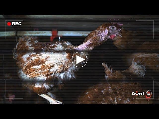 Élevage de poules en cage. L214 se mobilise contre le groupe Avril
