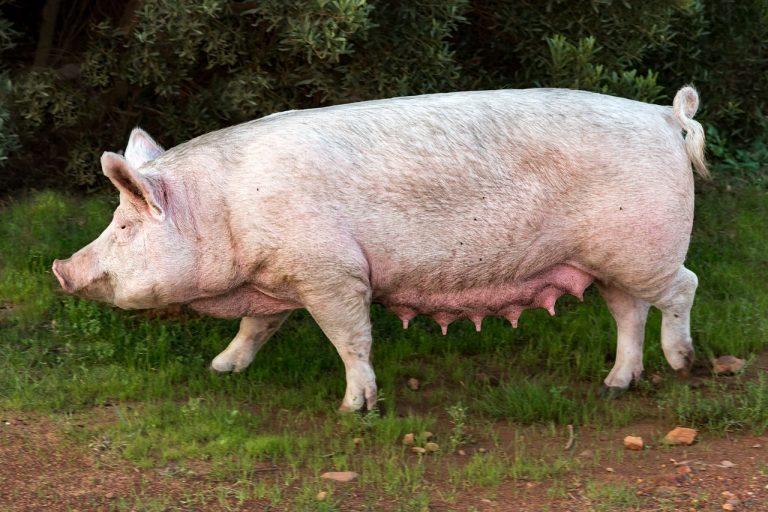 Se faire greffer un cœur de porc : une réalité d'ici trois ans ?