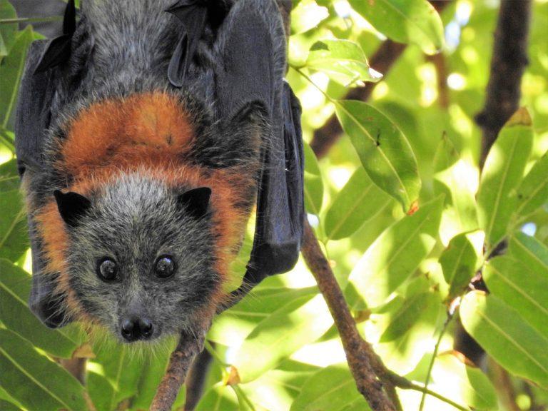 Locmaria-Berrien (29). Un Bal des chauves-souris le 22 août et le 5 septembre