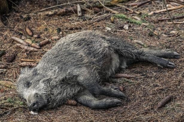 Peste porcine africaine: les chasseurs, dernier rempart de l'élevage breton?
