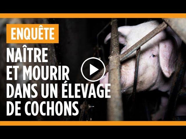 Dirinon (29). L214 publie une nouvelle vidéo choc dans un élevage de cochons affilié à Triskalia
