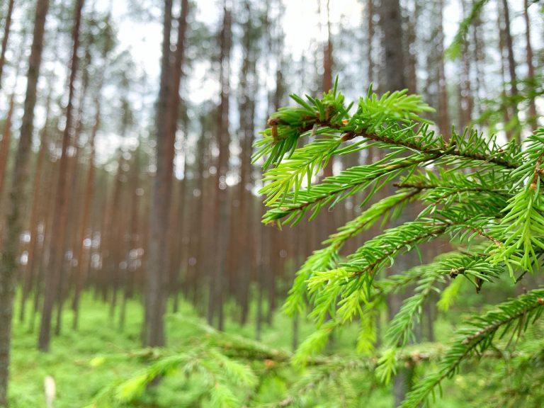 Lettonie. Le sapin de Noël ne s'achète pas… mais se coupe en forêt