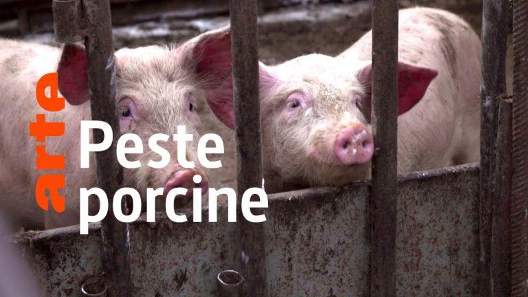 Reportage. Les ravages de la peste porcine en Europe
