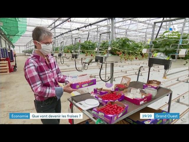 Producteurs de fraises dans le Finistère : comment écouler les récoltes avec le confinement ?