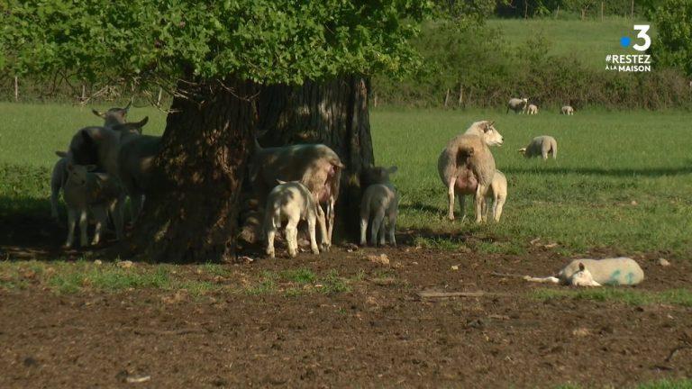 Loire-Atlantique : recrudescence des vols de moutons