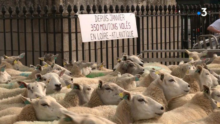 Nantes. Victimes de vols à répétition, les éleveurs ont installé 350 moutons en centre-ville