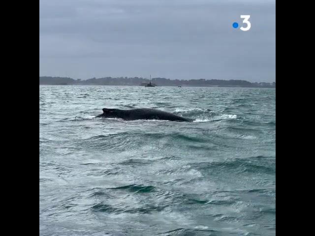 Une baleine dans la baie de Paimpol ce samedi 27 juin 2020
