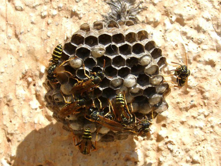 Prolifération des nids de guêpes : quelques rappels pour éviter les piqûres
